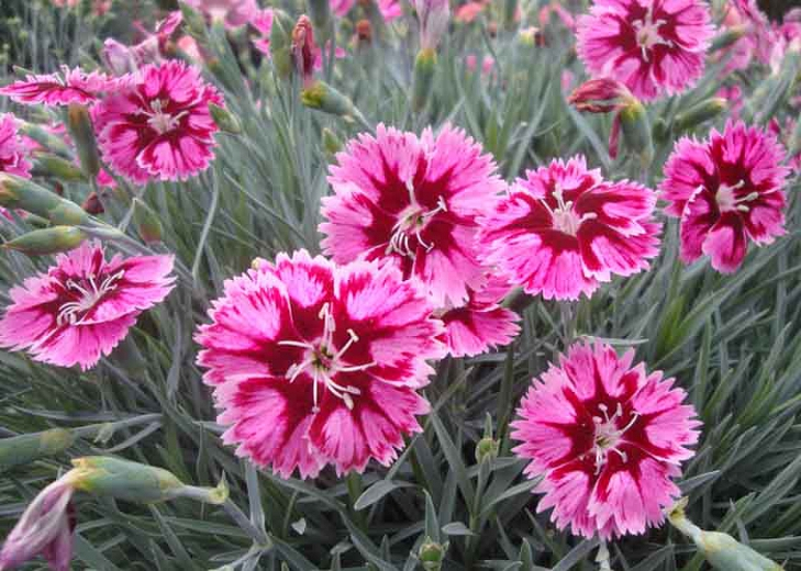 Dianthus-SS-Superstar-002Optimized
